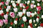 tulip_wallpaper_199088